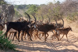 Herd of Sable Antelope (Hippotragus niger) crossing a track in Chobe National Park in northern Botswana, Africa.