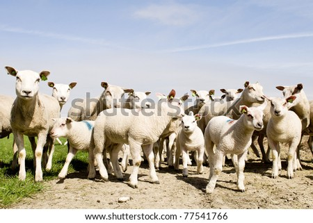 herd of sheep and lambs - stock photo
