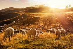 Herd of sheep grazing at sunset in the mountains.