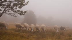 Herd of sheep grazing on a mountain in the fog. Sheep feed on dry grass yellowed by summer. Search for food. Agriculture and extensive breeding, traditional in France