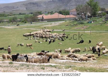 Herd of sheep herd - Herd #1358221067