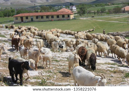 Herd of sheep herd - Herd #1358221076