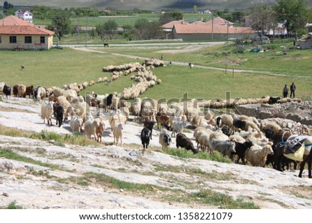 Herd of sheep herd - Herd #1358221079