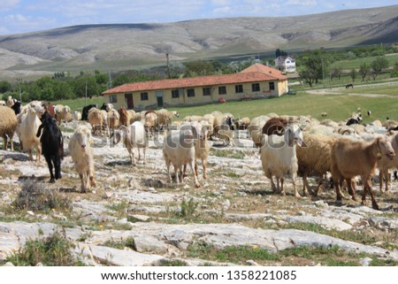 Herd of sheep herd - Herd #1358221085