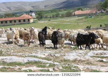 Herd of sheep herd - Herd #1358221094
