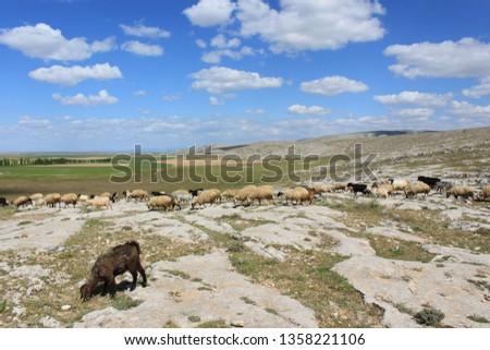 Herd of sheep herd - Herd #1358221106