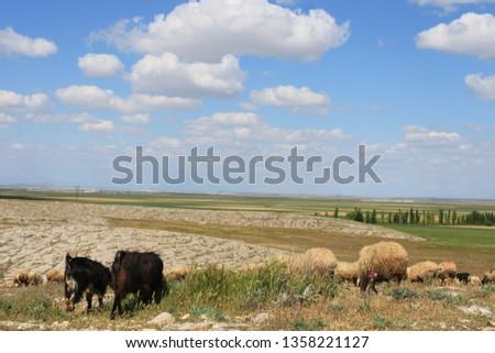 Herd of sheep herd - Herd #1358221127