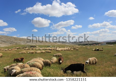Herd of sheep herd - Herd #1358221151