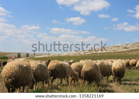 Herd of sheep herd - Herd #1358221169