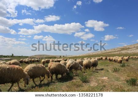 Herd of sheep herd - Herd #1358221178