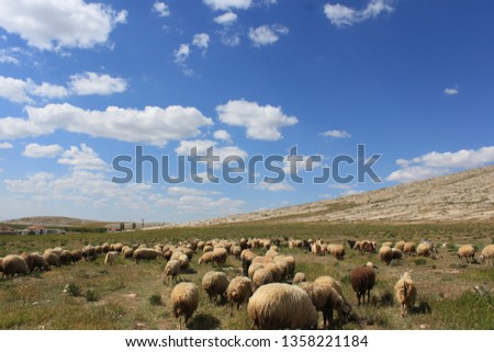 Herd of sheep herd - Herd #1358221184