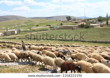 Herd of sheep herd - Herd #1358221196
