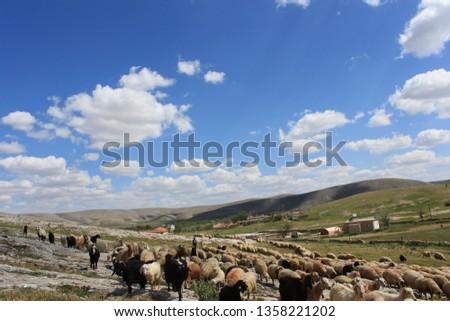 Herd of sheep herd - Herd #1358221202