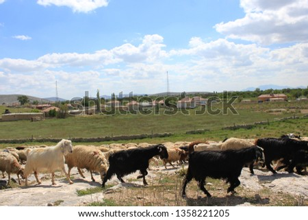 Herd of sheep herd - Herd #1358221205