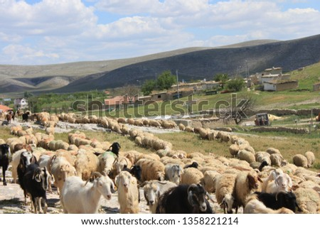 Herd of sheep herd - Herd #1358221214