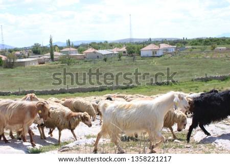 Herd of sheep herd - Herd #1358221217