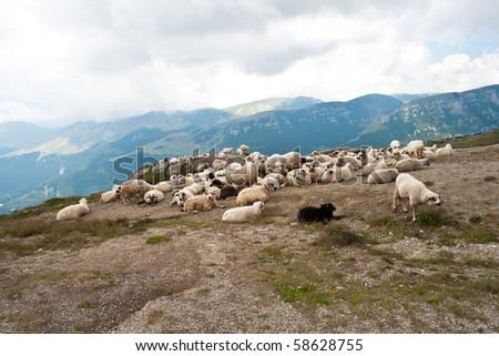 Herd of sheep in Bucegi mountains