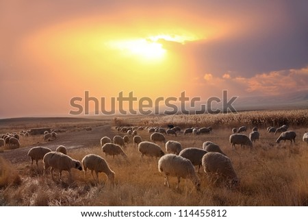 Herd of Sheep in Field Against Dramatic Sky