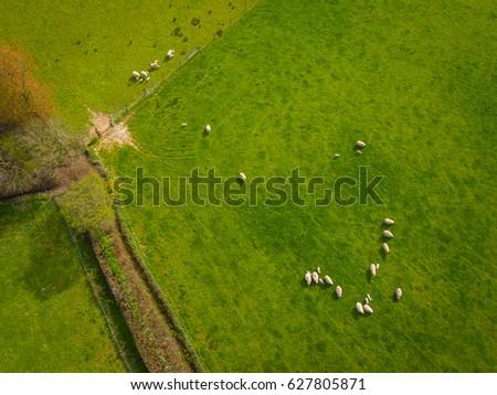 Herd Of Sheep in green field Aerial #627805871