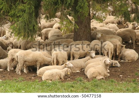 Herd of sheep in Slovak Paradise