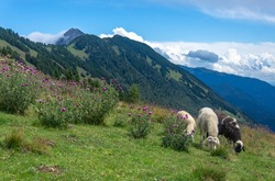 Herd of sheep in the mountains on a grassy terrain. They are eating grass. Beautiful landscape in Slovenia, Kriška gora. Slovenia mountains.