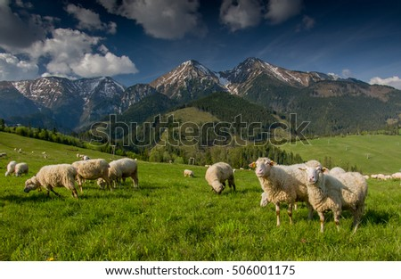 Herd of sheep in the mountains - The Tatra Mountains, Slovakia