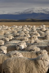 Herd of sheep in the vast meadow