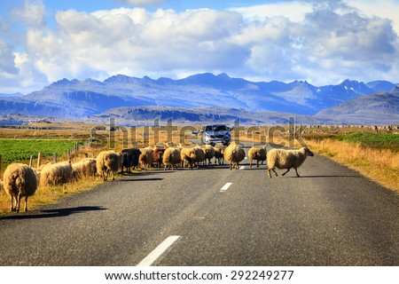 Herd of sheep is crossing Highway No. 1 (Ring Road) in Southern Iceland