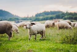 Herd of sheep on beautiful mountain meadow. Grywałd, Pieniny, Poland. Picturesque landscape background on mountainous terrain.