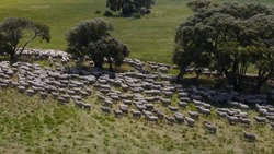 Herd of sheep on green meadow farm during daytime.