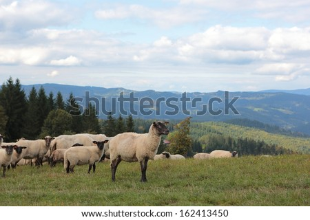 herd of sheep on pasture, Velke Karlovice, national protected area Beskydy, Czech republic