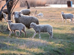 herd of sheep, rams and goats is grazed in meadow in forest by river. Sheep with little lambs on background of sunny sunset