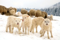 Herd of sheep skudde with lamb eating the hay meadow covered with snow. Winter on the farm.