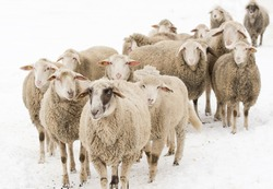 Herd of sheep standing on snow on farmland