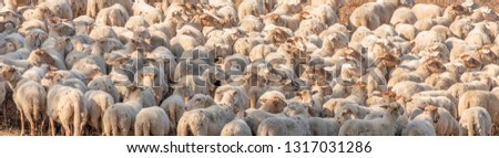 Herd of sheep standing very close to each other in the morning light and ready to go to the right