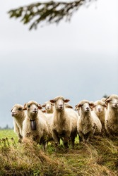 Herd of sheeps in mountains over moody background looking at camera