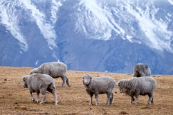 Herd of sheeps in New Zealand. Snow mountain background.