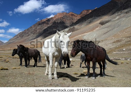 herd of small himalayan horses high in mountains