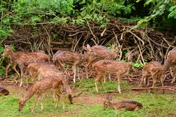 Herd of spotted deer in Nandankanan Zoological Park in Bhubaneswar. In 2009 this Zoological Park became the first zoo in India to become a member of the World Association of Zoos and Aquariums (WAZA).