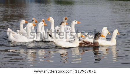 Herd of swiming white domestic geese in a pond