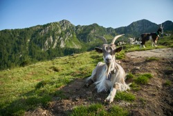 Herd of the mountain goats , Valtellina Italy. Domestic goats are grazing