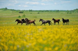 Herd of the running horses in the field