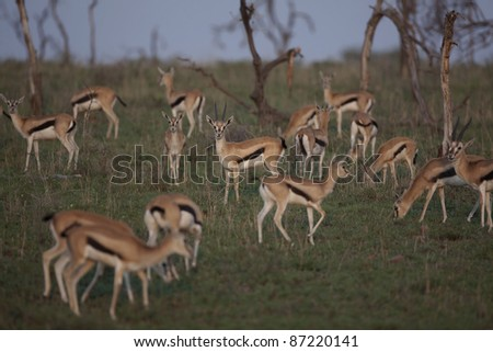 Herd of Thomson\'s Gazelle with the focus on a male gazelle in the middle