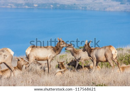 Herd of tule elks in Point Reyes National Seashore, California