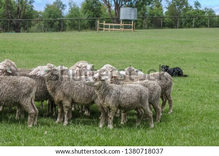 Herd of wet dirty sheep in a green field with fence and water tank and herding dog lying on ground watching them