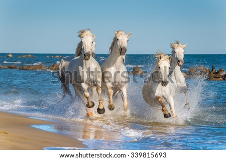 Herd of White Camargue Horses galloping through water in sunset light. Parc Regional de Camargue - Provence, France\n