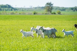 herd of white goats in green grassy meadow in summer