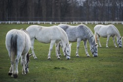 Herd of white horses grazing in pasture land in  horse farm during the winter in Czech Republic. White horses of kladrubsky race one of oldest european races of horses. Heritage of Czech Republic.