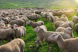 Herd of white sheep grazing in a Green landscape.