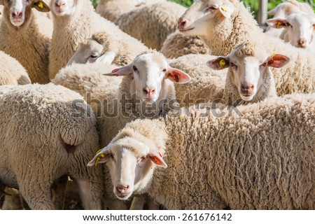 herd of white sheep in the countryside